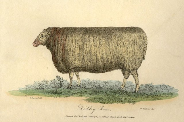 dishley sheep